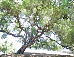 LANDMARK TREES :  Much of SLO Countys oak woodlands are on private land, which has led to controversy over the best way to protect them. - PHOTO BY JESSE ACOSTA