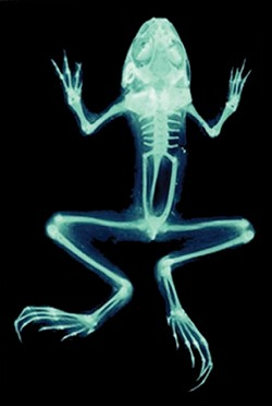 NOT REAL :  Digital Frog links virtual dissections to physiological and ecological information, offering views such as x-rays that aren't available to typical students. - IMAGE COURTESY OF DIGITAL FROG INTERNATIONAL