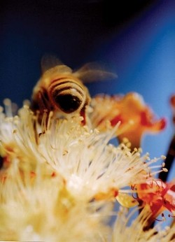 """""""BEE #2� HONORABLE MENTION ANIMALS - COLOR: - GARY GARRETT"""