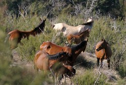 RUNNING FREE :  The mustangs at Black Mountain are the only wild horses in Coastal California. - PHOTO BY CHRISTOPHER GARDNER