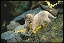 THE YOUNG LIONS :  Mountain lion kittens, like their mother, need meat to survive. Three-fourths of young lions don't live to see their second birthday. - PHOTO COURTESY OF MOUNTAIN LION FOUNDATION
