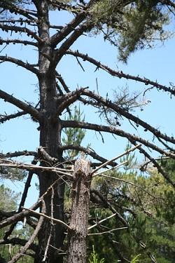GOING AND GONE :  Dead and dying Monterey pines provide a source of ladder fuels. A common brush fire, once limited to the forest floor, can reach the canopy by climbing dried limbs. - PHOTO BY JESSE ACOSTA