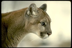 AMERICA'S LION :  These secretive, solitary predators require large areas of natural habitat with deer, and prefer to avoid humans. - PHOTO COURTESY OF MOUNTAIN LION FOUNDATION