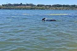 GIGGLE CITY:  There's something about being this close to sea otters that makes me laugh with joy. It's an uncontrollable urge. - PHOTO BY CAMILLIA LANHAM