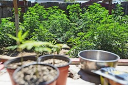 SEEING GREEN:  Changing attitudes toward commercial medical marijuana operations in Grover Beach could mean a potentially lucrative opportunity for the city and businesses looking to operate in the city. - FILE PHOTO BY KAORI FUNAHASHI