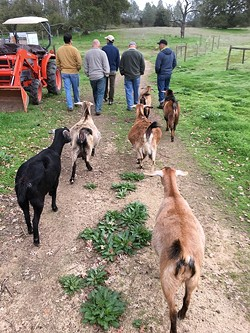 MEN WHO WALK WITH GOATS :  M.O.F.E. stands for Men's Opportunity For Excess, a men's-only campout with men doing manly stuff like walking with farm animals. - PHOTO BY GLEN STARKEY