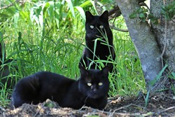 """OUT OF CONTROL:  A colony of feral black cats lives in Santa Margarita next to the railroad tracks. The """"clip"""" on its ear signifies that it's been spayed or neutered. Local animal organizations in North County are working hard to curb escalating feral cat populations with """"trap, neuter, and release"""" programs. - PHOTO BY DYLAN HONEA-BAUMANN"""