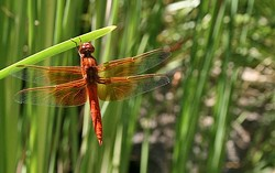 TAME THE DRAGON:  Keep a pond of cool water in your garden to attract beneficial (and beautiful) bugs like dragonflies, which love to feast on smaller insects and mosquitos. - PHOTO BY HAYLEY THOMAS