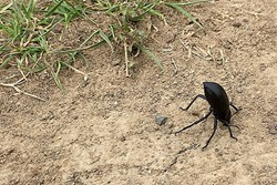 BEWARE THE BEETLE:  If you're a pinacate beetle, this is a defensive position. - PHOTO BY TREVER DIAS