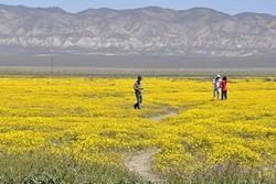FLOWERS FOR DAYS:  The Carrizo Plain National Monument is accessible via Soda Lake Road, and during the springtime there seems to be flowers for miles. It's not in North County, but you do need to drive over the grade before you head east. - PHOTO BY CAMILLIA LANHAM