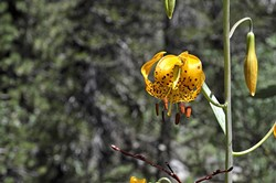 NATURE'S BEST:  Wild tiger lilies hide in the tall grass beneath the pine that line the shoreline of Grass Lake. - PHOTO BY CAMILLIA LANHAM