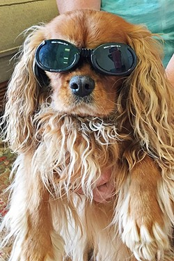 TOO COOL :  A Mission Animal Hospital patient looks pretty hip in their safety shades, which are required attire during laser treatments. - PHOTO COURTESY OF MISSION ANIMAL HOSPITAL