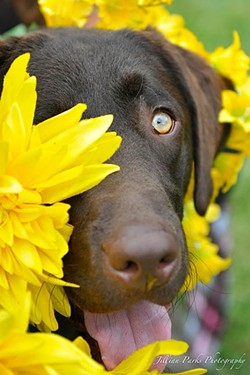 PEEK-A-BOO:  A lab frolics in the flowers in 'Ness.' - PHOTO COURTESY OF JILLIAN PARKS