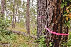 DISEASED:  In 2015, a fungus that infected Monterey pine trees were killing off an abundance of trees in the area and adding to the then fire hazard. - FILE PHOTO BY KAORI FUNAHASHI
