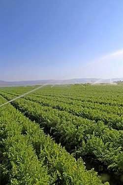 WALL-TO-WALL AGRICULTURE:  Farming in the Cuyama Valley began a little more than half a century ago. Inefficient irrigation practices led to the state declaring Cuyama's groundwater basin to be critically overdrafted. - PHOTO BY DYLAN HONEA-BAUMANN
