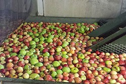 GOOD SEEDS:  Every day is apple season at Gopher Glen Apple Farm, where the Smith family works day in and day out to care for their 50-acre organic apple orchard. - PHOTO COURTESY OF GOPHER GLEN