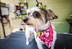 PAMPERED PET :  Lulu gets the royal treatment, bows and all, at the Golden Paw—a place where you can spend your money and your fur baby gets all the glory. - PHOTO BY JAYSON MELLOM