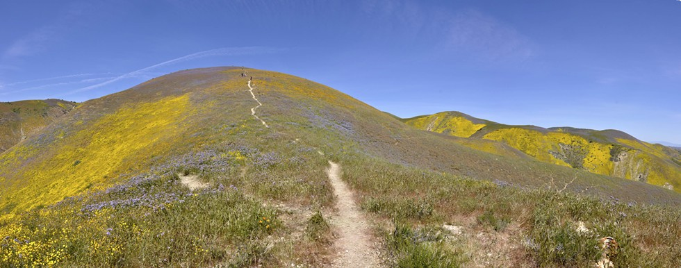 SEE THE RAINBOW Orange blazing stars and purple/blue phacelia cover the hills of the Carrizo Plain National Monument in carpets of color in April 2017. - PHOTO CAMILLIA LANHAM