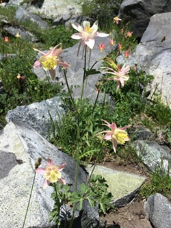 DARLING As the Mosquito Flats trail through Little Lakes Valley heads farther into the wilderness, columbines pop up around the mountain lakes. - PHOTO BY CAMILLIA LANHAM