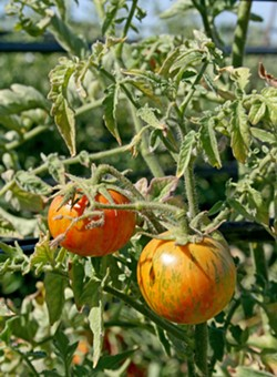 LIFE IS JUICY More than 40 varieties of heirloom tomatoes will be ripe and ready for the eating at Windrose Farm's annual Heirloom Tomato Festival. - PHOTO BY HAYLEY THOMAS CAIN