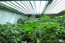 LIMITS Hopeful outdoor marijuana cultivators in SLO County may be facing stiff competition after the Planning Commission pushed forward regulations on Sept. 14 that would limit the number of available permits to 50. - FILE PHOTO