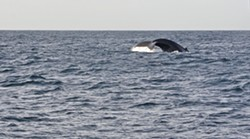 WHALE TAIL A humpback whale's tail pops out of the water for a second before disappearing again. - PHOTO BY CAMILLIA LANHAM