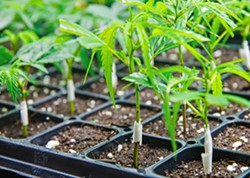TAX TALK San Luis Obispo County is close to finalizing a cannabis tax measure for the June ballot. - FILE PHOTO BY JAYSON MELLOM