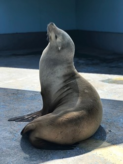 NEW HOME Maggie a 32-year-old female California sea lion was relocated to her new home at Six Flags Discovery Kingdom and now spends most of her days sunbathing. - PHOTO COURTESY OF SIX FLAGS DISCOVERY KINGDOM