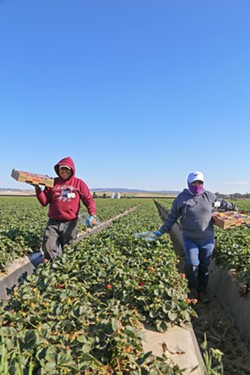 LABOR-INTENSIVE HARVEST Strawberry farmers have requested close to two-thirds of the total H-2A workers in SLO and Northern Santa Barbara counties since 2017, while vegetable farms accounted for nearly another third. - FILE PHOTO BY DYLAN HONEA-BAUMANN