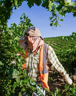 IN THE FIELDS Roberto prunes vines at Vino Farms in San Miguel. As California's domestic farm labor force ages, it's created a vacuum of labor that farmers are struggling to fill. - PHOTO BY JAYSON MELLOM