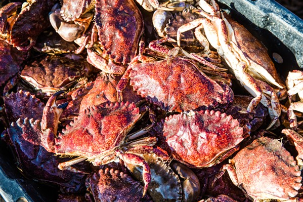 LIVE AND FRESH These rock crab will be held in a giant saltwater cistern until they're ready to be shipped live to local restaurants. - PHOTO BY JAYSON MELLOM