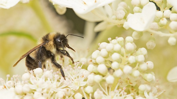 WILD AND SCENIC A Ghost in the Making: Rusty-patched Bumble Bee is one of more than 30 films screening at The Wild and Scenic Film Festival, Sept. 27 to 29, at three locations. - PHOTO COURTESY OF DAY'S EDGE PRODUCTIONS