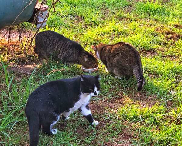 CAT COLONY These three cats are among a colony of 12 that are fed daily by the Feline Network, which traps, spays or neuters, and returns feral cats, fostering any kittens and finding them forever homes. - PHOTO BY GLEN STARKEY