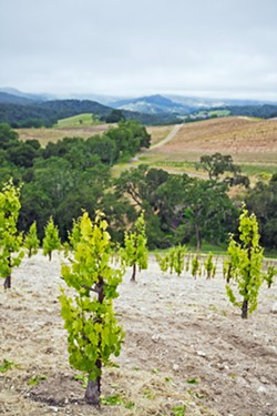 NEW VINES Vines planted in northern San Luis Obispo County during the drought started bearing fruit in 2017 and 2018, helping make 2018 the third largest crop harvest in Central Coast history. - FILE PHOTO BY KAORI FUNAHASHI