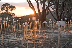 BY DAYLIGHT While one might argue the best time to view light artist Bruce Munro's work is at night, he thinks his installations take on an almost wildflower-like look during the daytime. Pictured here is Field of Light in Albany, Australia. - PHOTOS COURTESY OF BRUCE MUNRO