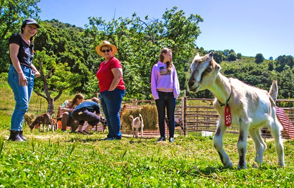 RUNNING FREE This two-month old Lamancha goat kid shows off his galavanting skills for Stepladder Ranch and Creamery tour attendees on a recent Thursday afternoon. - PHOTO BY JAYSON MELLOM