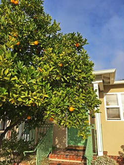 ORANGE YOU GLAD? It seems like oranges and lemons are growing everywhere you look, and it turns out most fruit tree owners are happy to share as long as you ask first. - PHOTO BY KASEY BUBNASH