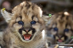 ENDANGERED? Coastal mountain lions, from Santa Cruz to San Diego, are eligible for protections under the Endangered Species Act. - PHOTO COURTESY OF THE CENTER FOR BIOLOGICAL DIVERSITY