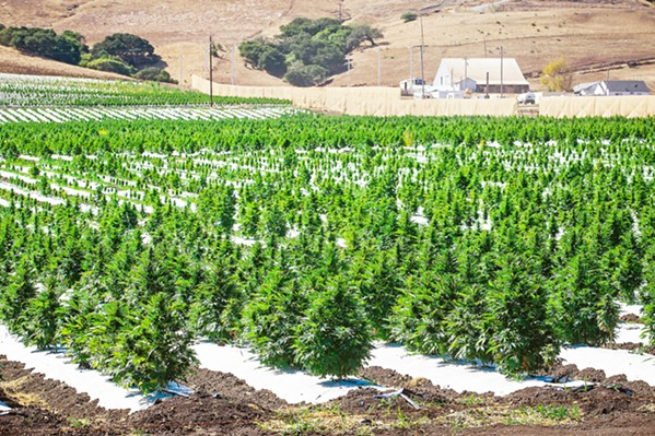 """HEMP FIGHT A coalition of hemp growers is suing San Luis Obispo County to stop a recently passed ordinance that it says is a """"de facto ban"""" on the crop. - FILE PHOTO BY JAYSON MELLOM"""