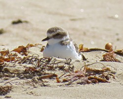 OUT OF BOUNDS As of May 27, State Parks had discovered 18 total snowy plover nests in the open riding area and foredune closures of the Oceano Dunes, 15 of which were active. That's compared to the 20 active nests that were found inside designated breeding areas. - PHOTO COURTESY OF JEFF MILLER