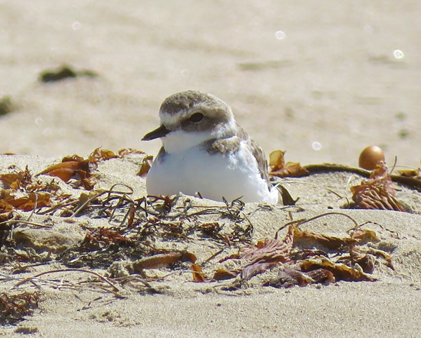 OUT OF BOUNDS Vehicles will be prohibited in the Oceano Dunes SVRA until the end of the snowy plover nesting season through Oct. 1. - PHOTO COURTESY OF JEFF MILLER
