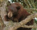 Habitat crossover: Bears are a growing issue at Lopez Lake—is COVID-19 camping to blame?