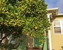 It's citrus season, and while most fruit tree owners are willing to share their abundance, ask before you take
