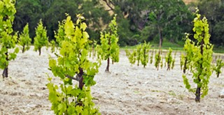 Crushin' it: As demand for grapes softens, growers are leaving clusters on the vine, fallowing fields, and pulling out older vines