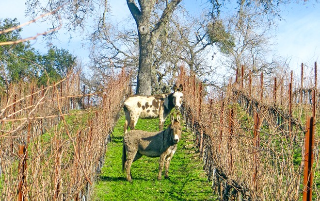DIVERSE AND CUTE Donkeys are one of many animal species that help Tablas Creek Vineyard's soil stay alive and healthy, and capture carbon and hold onto water.