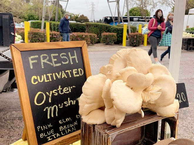 DAILY CATCH Morro Bay Mushrooms often harvests multiple oyster mushroom varieties, such as elm, the day of the farmers' markets Rosa Zunino sells at.