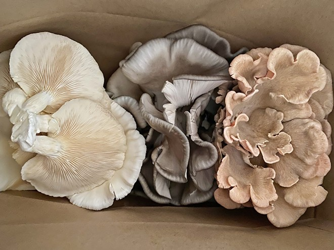 SUPERFOOD Not only are mushroom bouquets beautiful and delicious, says Mighty Cap proprietor Chris Batlle, but they also contain vitamins and antioxidants. Pictured here, from left, are oyster varieties white elm, blue, and pink.