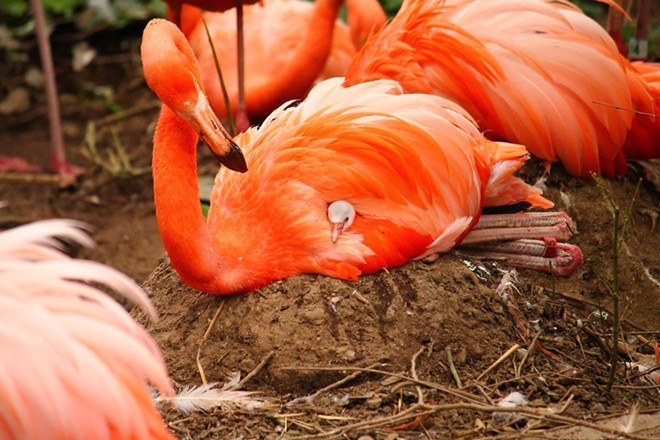 flamingo_chick_.jpg