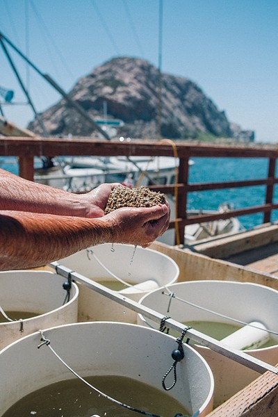 START OF A LONG JOURNEY:  Morro Bay Oyster Company owner Neal Maloney holds up thousands of Pacific Gold oysters just a few months old. - PHOTO BY KAORI FUNAHASHI