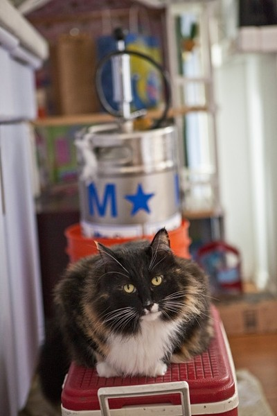 CAT ON A KEG:  Cat Cat guards a keg of delicious pear cider from BevMo!. - PHOTO BY ASHLEY SCHWELLENBACH
